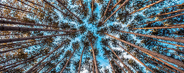 A view of woodland trees from the ground.